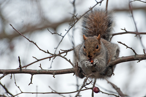 Gray Squirrel「Gray squirrel eating crab apples in winter」:スマホ壁紙(11)