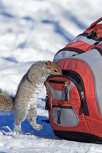 Gray Squirrel「Gray squirrel looking in backpack」:スマホ壁紙(4)