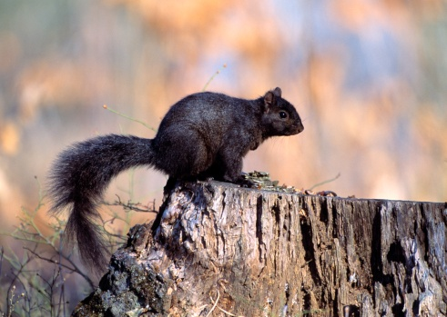 Gray Squirrel「Gray squirrel in black-color phase」:スマホ壁紙(2)