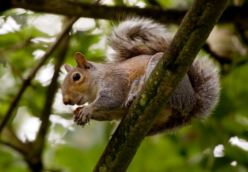 Gray Squirrel「Gray squirrel on a tree branch」:スマホ壁紙(0)