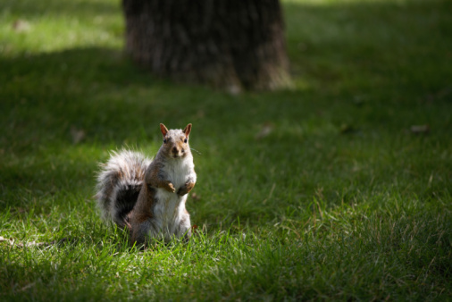 Gray Squirrel「Gray squirrel on lawn」:スマホ壁紙(12)