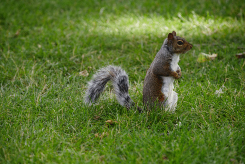 Gray Squirrel「Gray squirrel on lawn」:スマホ壁紙(18)