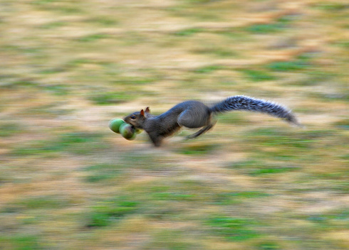 Gray Squirrel「Gray squirrel running with walnuts in his mouth」:スマホ壁紙(3)