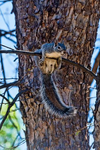 Gray Squirrel「Gray Squirrel」:スマホ壁紙(14)