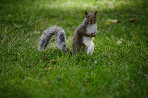 Gray Squirrel「Gray squirrel on lawn in park」:スマホ壁紙(16)