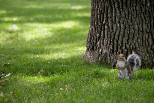 Gray Squirrel「Gray squirrel on lawn in park」:スマホ壁紙(15)