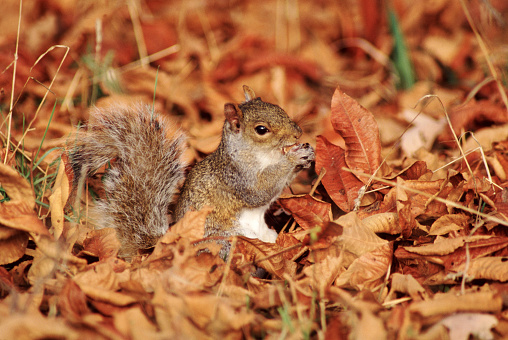 Gray Squirrel「Gray Squirrel Eating」:スマホ壁紙(12)