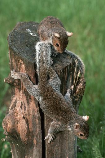 Gray Squirrel「Gray Squirrels on a Stump」:スマホ壁紙(9)