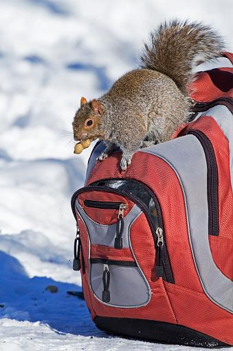 Gray Squirrel「Gray squirrel on backpack」:スマホ壁紙(5)