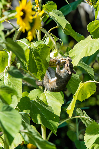 Gray Squirrel「Gray Squirrel eating Sunflower」:スマホ壁紙(14)