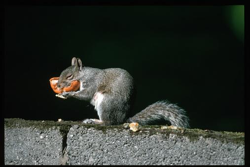 Gray Squirrel「Gray Squirrel Eating an Orange」:スマホ壁紙(2)