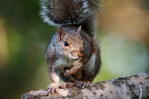 Gray Squirrel「Gray squirrel perched on branch close-up」:スマホ壁紙(6)