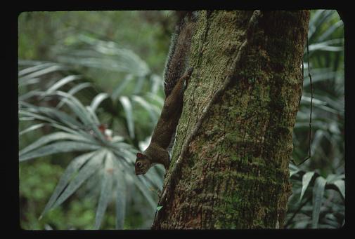 Ocala National Forest「Gray Squirrel on Palm Trunk」:スマホ壁紙(8)