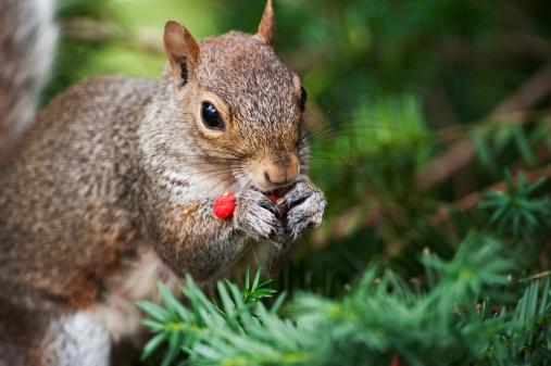 Gray Squirrel「Gray squirrel foraging on yew berries」:スマホ壁紙(19)
