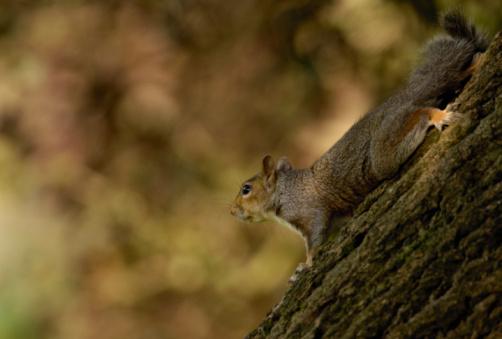 Gray Squirrel「Gray squirrel (Sciurus carolinensis) on tree, upside down, side view」:スマホ壁紙(18)