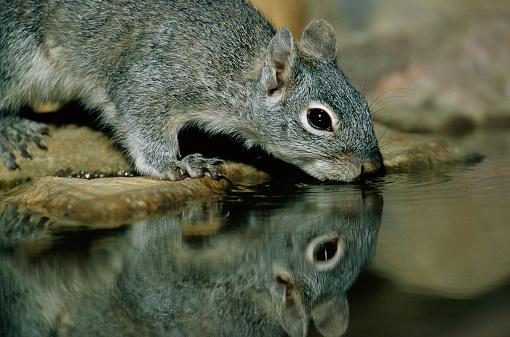 Gray Squirrel「Gray Squirrel Drinking Water」:スマホ壁紙(3)