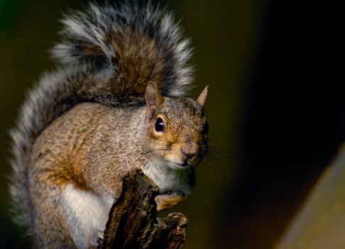 Gray Squirrel「Gray squirrel (Sciurus carolinensis) on tree, close-up」:スマホ壁紙(16)