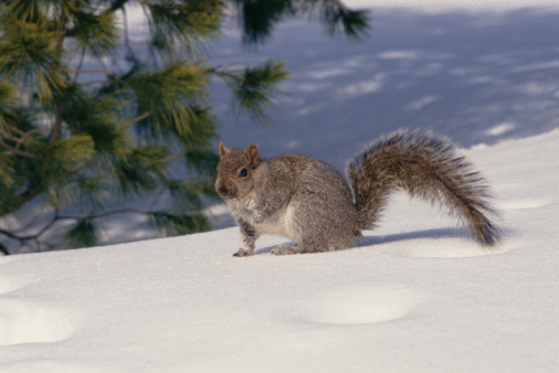 Gray Squirrel「Gray squirrel on snow」:スマホ壁紙(17)