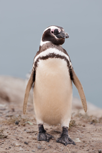 Magellan Penguin「Magellan Penguin」:スマホ壁紙(13)