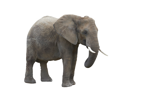 Elephant「elefant isolated on white with clipping path」:スマホ壁紙(13)