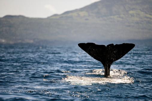 クジラ「マッコウクジラフルーク」:スマホ壁紙(7)