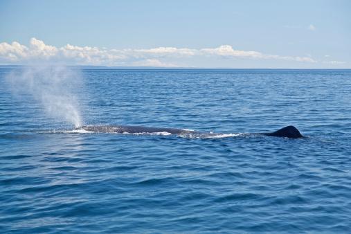 クジラ「マッコウクジラ、Physeter macrocephalus 、投げます。ニューファンドランド州、カナダます。」:スマホ壁紙(16)