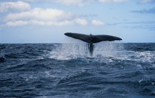 Tail Fluke「sperm whale,physeter macrocephalus, about to dive, azores, portugal」:スマホ壁紙(6)