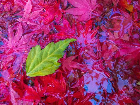 セイヨウカジカエデ「A leaf lands in bird bath filled with fall maple leaves on Vancouver Island」:スマホ壁紙(19)