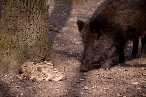 Boar「Piglets のイノシシ」:スマホ壁紙(8)