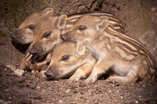 Animals In The Wild「Piglets of Wild Boar」:スマホ壁紙(10)