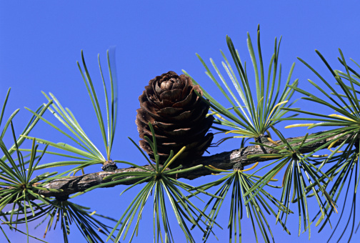 Pine Cone「Whorled leaves of Tamarack or Larch, Larix laricinia, and cone on branch」:スマホ壁紙(9)