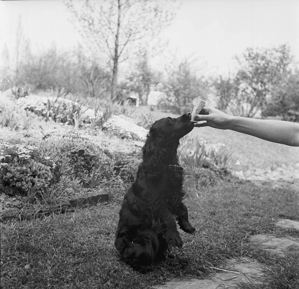 Animal Body Part「Dog Eating Ice Cream Cone」:写真・画像(3)[壁紙.com]