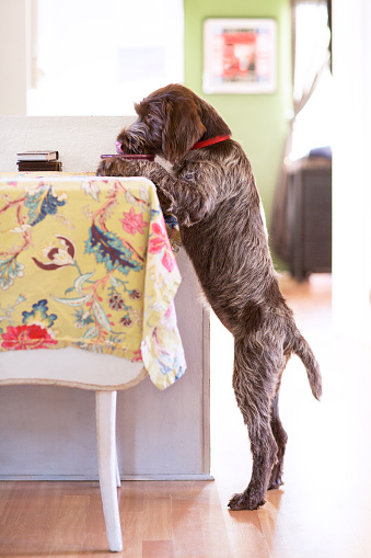 Standing「Dog standing up and eating at the table」:スマホ壁紙(4)