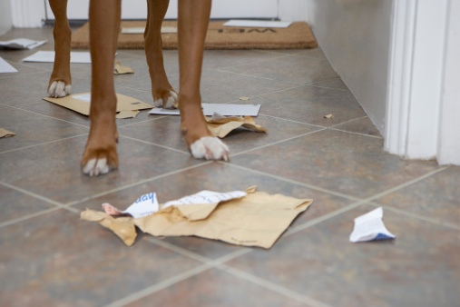 Mischief「Dog standing in hallway over chewed mail, low section」:スマホ壁紙(2)