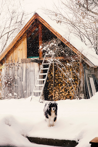 St「Dog standing in snowy backyard」:スマホ壁紙(2)