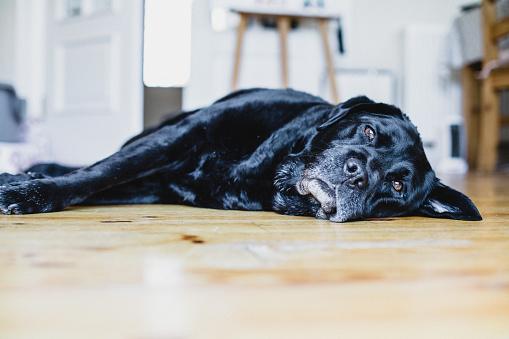 Resting「Black Labrador dog lying on the floor in a kitchen」:スマホ壁紙(14)