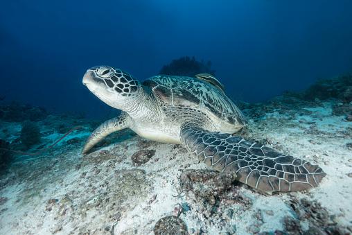 Green Turtle「A big green turtle resting on ocean floor」:スマホ壁紙(4)