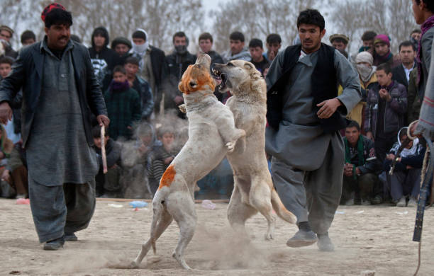 Dog Fights Held in Kabul:ニュース(壁紙.com)