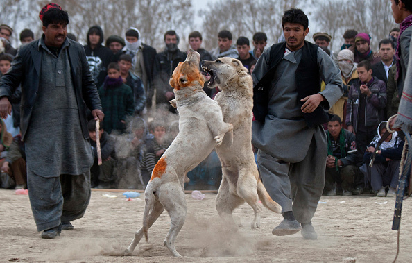 Kabul「Dog Fights Held in Kabul」:写真・画像(19)[壁紙.com]