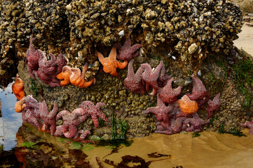 Cannon Beach「Starfish on a rock outcropping at low tide」:スマホ壁紙(10)