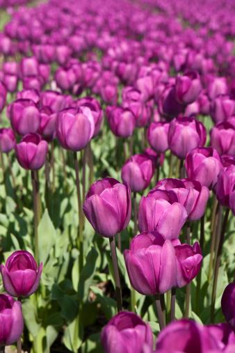 Keukenhof Gardens「purple tulips」:スマホ壁紙(13)