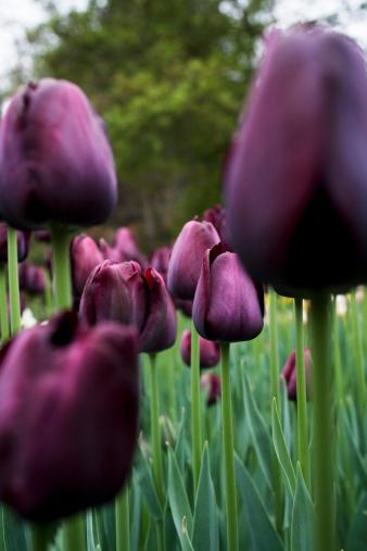 Hayward Field「Purple tulips in field, close-up (differential focus)」:スマホ壁紙(0)