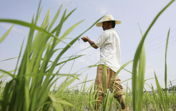 Planting「Hybrid Rice Makes A Great Contribution To China's Food Security」:写真・画像(14)[壁紙.com]