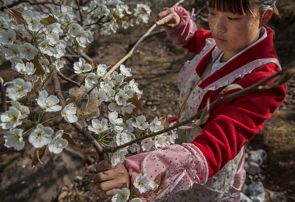 Pollination「Humans Do The Work of Bees in Rural China」:写真・画像(1)[壁紙.com]