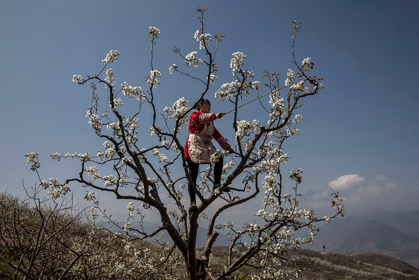 Pollination「Humans Do The Work of Bees in Rural China」:写真・画像(2)[壁紙.com]