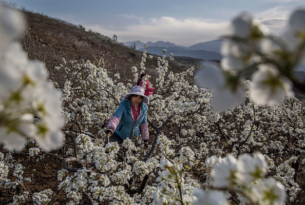 Pollination「Humans Do The Work of Bees in Rural China」:写真・画像(0)[壁紙.com]