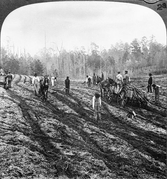 Sugar Cane「Planting Sugar Cane in Georgia」:写真・画像(10)[壁紙.com]