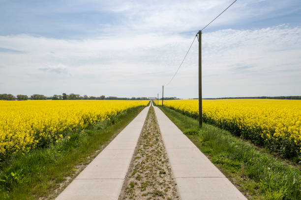 Germany, Ruegen, country lane through rape field:スマホ壁紙(壁紙.com)
