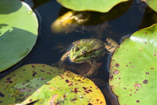 Water Lily「Germany, Munich, botanical garden, frog in pond」:スマホ壁紙(12)