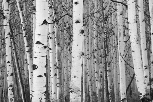 Grove「Monochrome image of white birch tree forest」:スマホ壁紙(4)